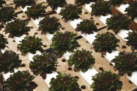 rows of dark brown lettuce cultivating at greenhouse