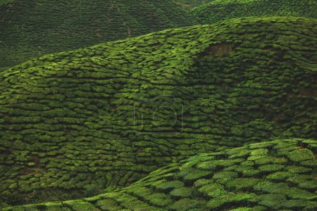 aerial view of green tea plantation for background
