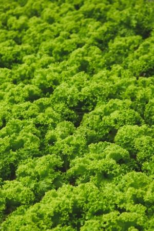Photo for Close-up shot of green lettuce growing on farm - Royalty Free Image