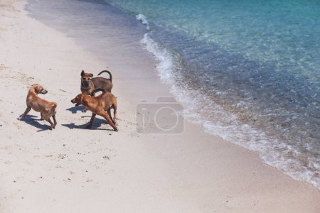 group of stray dogs playing on sandy beach