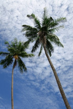 bottom view of palm trees in front of cloudy sky