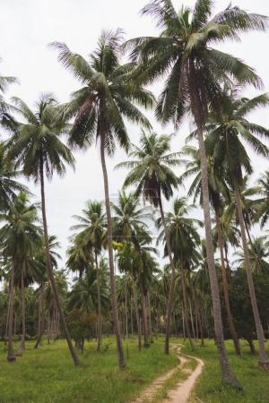 tropical forest of palm trees with rural road