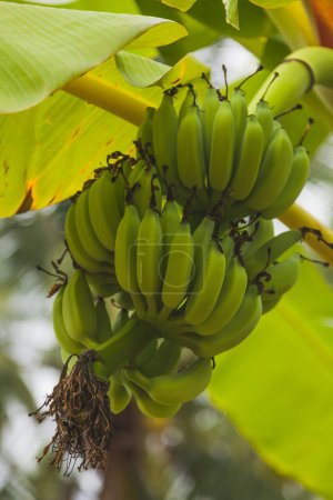 bottom view of branch of fresh green bananas growing on tree