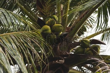 bottom view of branch of fresh green coconuts growing on palm tree