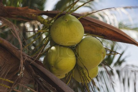 branch of delicious coconuts growing on palm tree