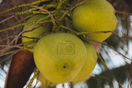 close-up shot of branch of green coconuts growing on palm tree