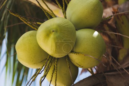 close-up shot of branch of fresh green coconuts growing on palm tree