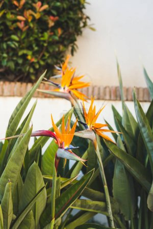 beautiful strelitzia flowers infront of white wall