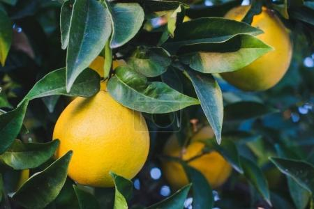 ripe orange fruits on green tree branches