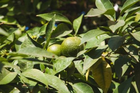 grüne Mandarinen Trauben auf Ästen