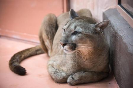 puma im zoo 12 monate in
