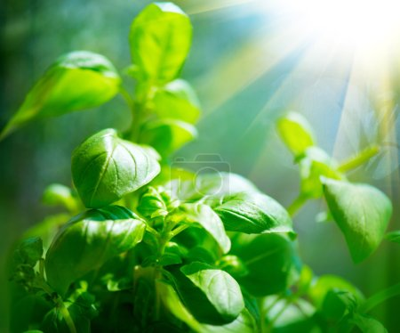 Photo for Fresh basil leaves. Closeup of basil growing in a garden - Royalty Free Image