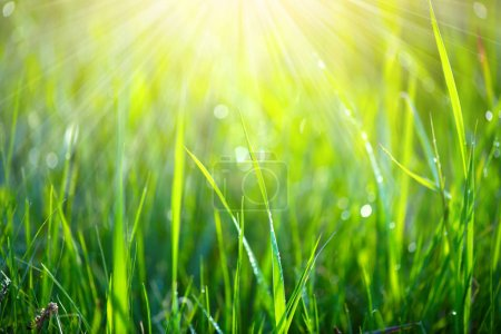Fresh spring grass in sunbeams with dew drops