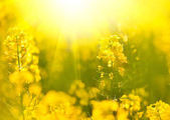 blooming rapeseed field in summer time