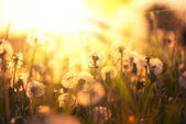 Close view of dandelion field over sunset background