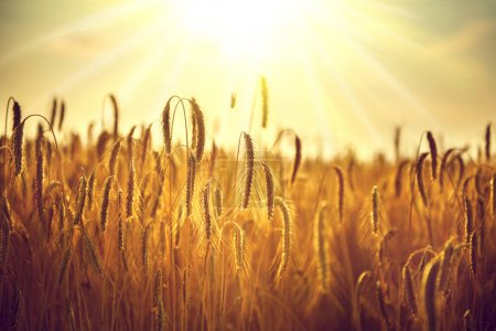 Photo for Ears of golden wheat in sunbeams - Royalty Free Image