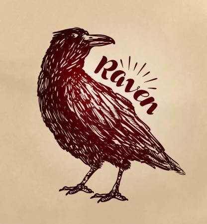 Vintage drawn raven. Crow, bird sketch vector illu...