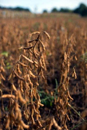 View of soybean hybrids harvest in sunlight