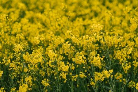 Photo pour Détail de la floraison champ de colza. Champ de colza . - image libre de droit