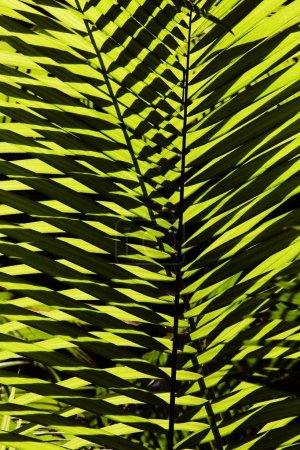 Photo pour Fronde de palmiers, Parc national de Daintree, Queensland, Australie, Océanie - image libre de droit