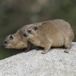 Rock Hyrax or Cape Hyrax (Procavia capensis)...