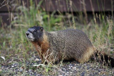 Yellowbellied marmot Marmota flaviventris also