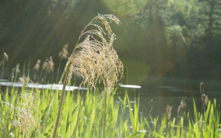 Photo pour Roseaux à Lanser Moor, Innsbruck, Tyrol, Autriche, Europe - image libre de droit