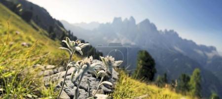 Photo pour Edelweiss (Leontopodium nivale), groupe Geisler à l'arrière, montagnes Aferer Geisler, vallée de Villnoesstal, province de Bolzano-Bozen, Italie, Europe - image libre de droit