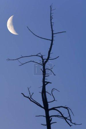 Photo pour Vieil arbre avec la lune, composition, Bade-Wurtemberg, Allemagne, Europe - image libre de droit