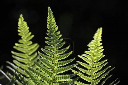 Photo pour Gros plan des feuilles de fougères vertes - image libre de droit