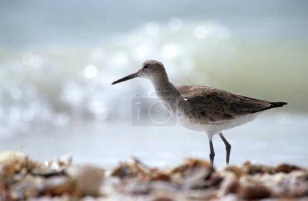 Willet bird (Catoptrophorus semipalmatus)