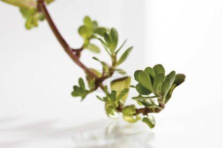 Photo pour Feuilles vertes Waterhysope côtière, Brahmi, Gratiole à feuilles de thym - image libre de droit