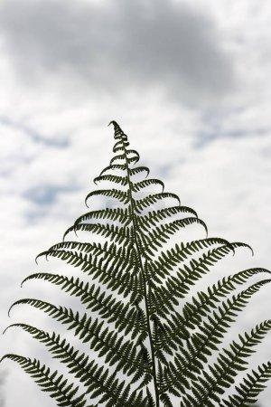 Photo pour Frond et ciel avec des nuages - image libre de droit