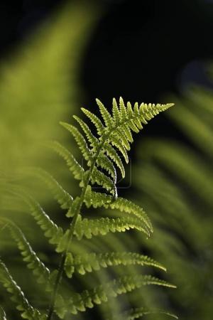 Photo pour Feuilles vertes de fougères, fond flou - image libre de droit