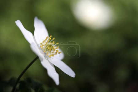 Wood anemone windflower, white Anemone nemorosa flower