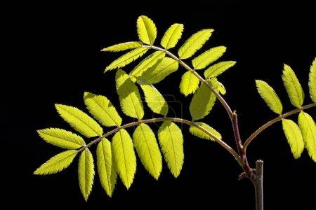Photo pour Feuilles de rowan d'Europe, Frêne des montagnes, (Sorbus aucuparia ) - image libre de droit