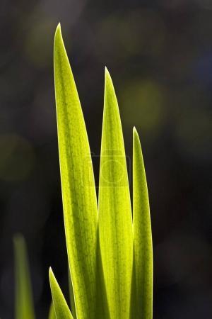 Photo pour Drapeau Iris feuilles au printemps (Iris pseudacorus ) - image libre de droit