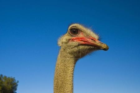 Ostrich Struthio camelus, portrait, South Africa