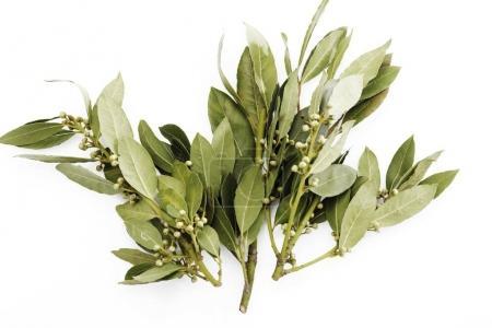 Bay leaves, Laurel leaves (Lauraceae) isolated on white