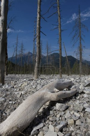 Dead forest, Friedergries, Garmisch-Partenkirchen, Bavaria, Germany, Europe