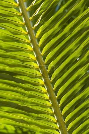 Photo pour Feuilles de la fronde des palmiers, gros plan - image libre de droit