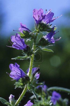 Photo pour Vipère Bugloss, Echium vulgare fleur violette - image libre de droit