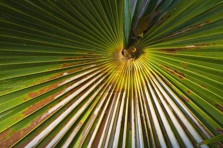 Photo pour Fronde de palmiers, Indonésie, Asie - image libre de droit