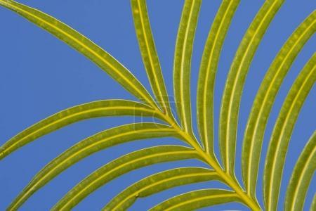 Photo pour Feuilles de fronde de palmier vert - image libre de droit