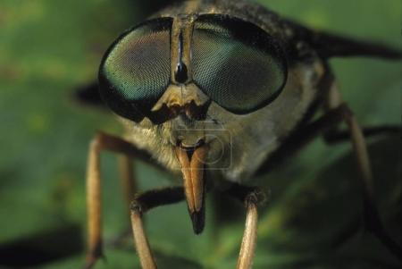 close up of Dark giant horsefly (Tabanus sudeticus)