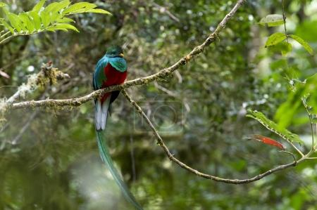 Sleeping Resplendent Quetzal Pharomacrus mocinno