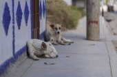 Sleeping dogs lying on the sidewalk, Banjos del Inca, Cajamarca, Peru, South America