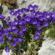 Violet bell flowers growing at rock...