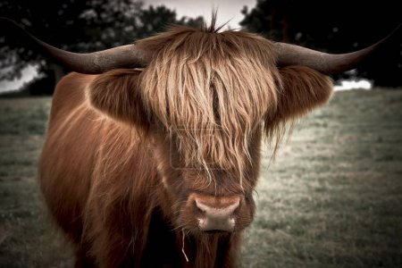 Scottish Highland Cattle, animal head with horns