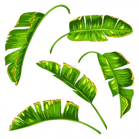 Set of banana palm leaves. Decorative tropical foliage
